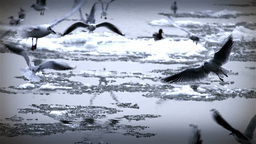 Seagulls over Icy River 11 with sound Stock Video Footage
