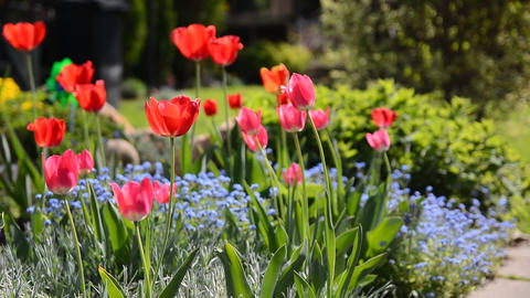 Red tulips in flowerbed Footage