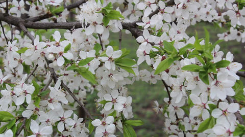 Branch Of A Blossoming Plum Sways In The Wind stock footage