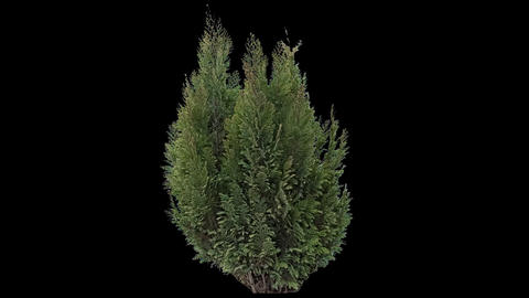 Real Coniferous Plant Isolated 3 Footage