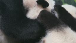 Panda Family _ 4k stock footage