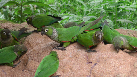 Parrots searching for minerals in Ecuadorian jungle Footage