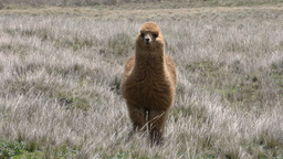 Alpaca staring at the viewer Footage