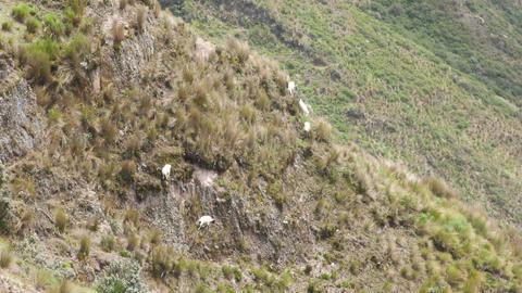 Flock of goats on steep terrain Footage
