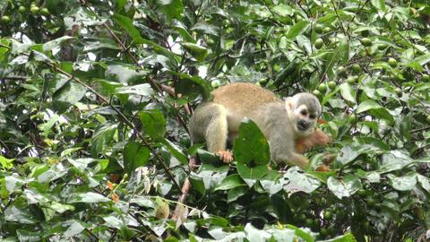 Wild saimiri monkey Footage