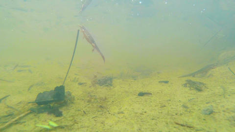 newts from the red book during the mating season in the mountains of Europe unde Footage