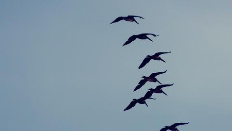 Flock of pelicans in flight Footage
