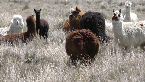 Flock Of Alpacas Camelids stock footage
