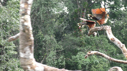 Hoatzin birds in Amazon Footage