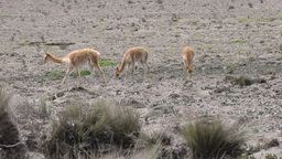 Vicuna Adults With Foal Live Action