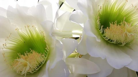 cactus flower daytime Footage