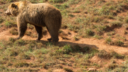 bear wild animal nature mammel Footage