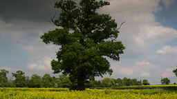 beautiful tree english countryside field Footage