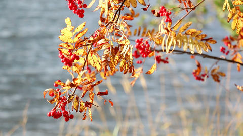 Leaves and berries of rowan in autumn colors at a windy lakeside Live Action