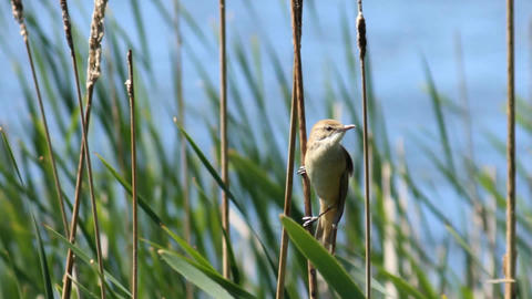 Bird in the reeds Footage