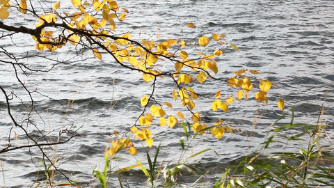Colorful birch leaves and shore vegetation swaying in strong wind on a sunny aut Footage