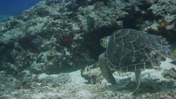 turtle cozumel mexico Footage