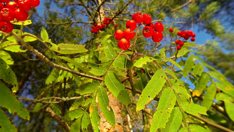 Closeup shot of red rowan berries swaying in the wind on a sunny autumn day Footage