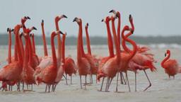 pink flamingo mexico wildlife birds Footage