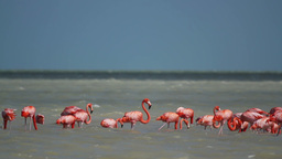 Flamingo Flock Mexico Lagoon stock footage