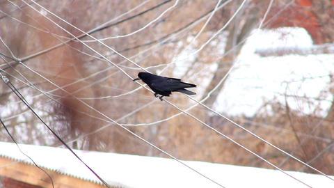 Ravens on tree 30 Stock Video Footage