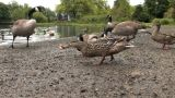 Ducks Footage
