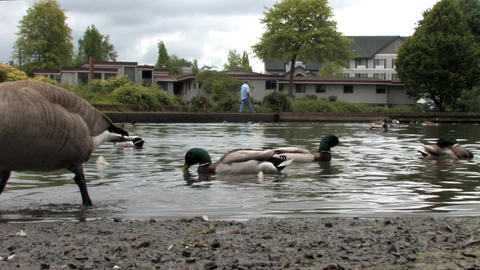 Ducks Stock Video Footage