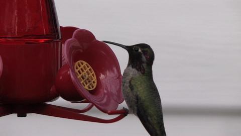 Humming Bird Stock Video Footage