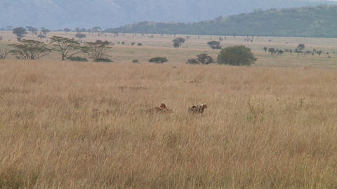 Cheetah Stock Video Footage