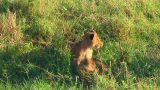 Lion cubs Footage