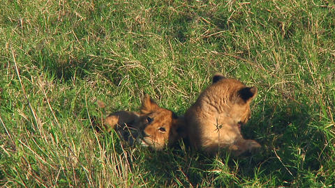 Lion cubs Stock Video Footage