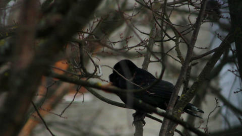 Ravens on tree 33 Stock Video Footage