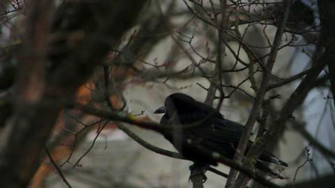 Ravens on tree 33 Stock Video Footage