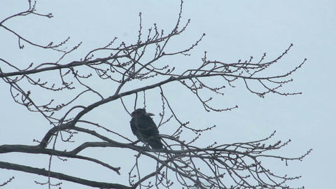 Ravens on tree 35 Stock Video Footage