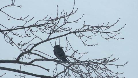 Ravens on tree 35 Stock Video Footage