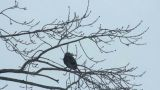 Ravens on tree 35 Footage