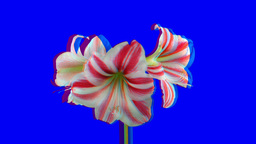 Stereoscopic 3D of rotating seemless looping amaryllis... Stock Video Footage