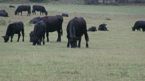 Cattle Grazing Stock Video Footage