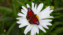 Peacock butterfly Stock Video Footage