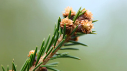 Blossoming spruce twig Stock Video Footage
