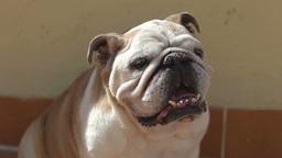 bulldog dog animal canine cute dometic pet Footage