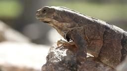 iguana mexico wildlife Footage