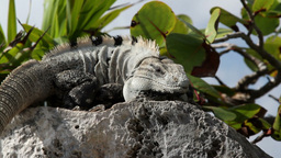iguana mexico wildlife Footage