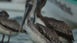 brown pelicans mexico wildlife Footage