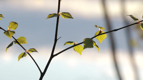 Young birch leaves in springtime with lake background Footage