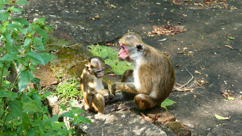 Macaque Monkey Mother And Child stock footage