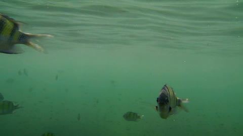 Dipping camera into sea with a school of striped sergeant fish at a tropical isl Footage
