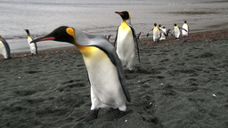 King Penguin (Aptenodytes Patagonicus) On Coastline stock footage