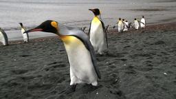King Penguin (Aptenodytes Patagonicus) On Coastline stock footage