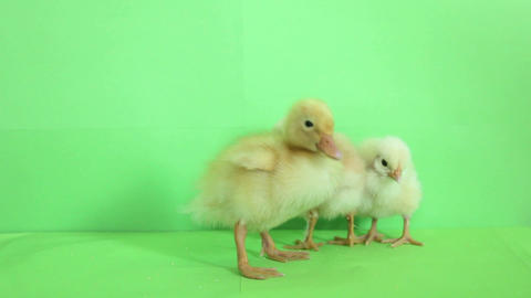 baby duck with baby chickens 01 Footage
